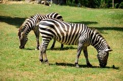 zebra zdjęcie royalty free