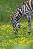 Zebra. On a green pasture stock images