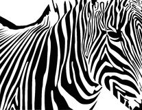 Zebra. The vecor illustration zebra image EPS 8