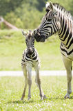 Zebra. A mother zebra taking care of her baby royalty free stock photography