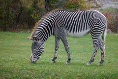 Free Zebra Royalty Free Stock Image - 61830316