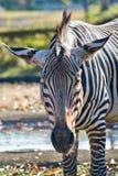 Zebra Fotos de Stock