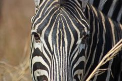 Zebra. A Burchells Zebra (Equus quagga burchelli) showing the unique skinn patern closeup Stock Photos