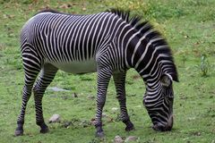 Zebra. In the Bronx Zoo stock photography