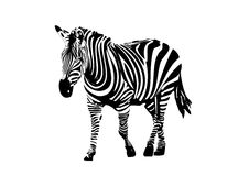 Zebra. Vector illustration of zebra....wildlife Stock Image