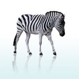 Zebra. Photo of walking zebra (clipping path included Royalty Free Stock Photo