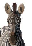 Zebra lizenzfreie abbildung