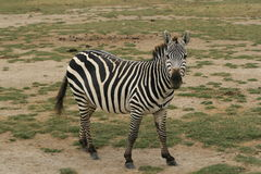Zebra. A photo of a Zebra taken in Kenya Stock Photo