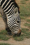 Zebra. A photo of a Zebra taken in Kenya Stock Photos