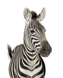 Zebra. Front view of a Zebra in front of a white background stock images
