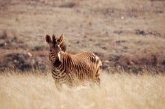 Zebra. African Zebra in the savannah Stock Images