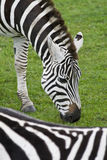 Zebra. \\\'s at Flamingo Land Zoo Royalty Free Stock Photography