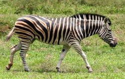 Free Zebra Stock Photo - 739620