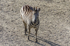 Zebra Fotos de Stock Royalty Free