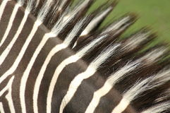 Zebra Imagens de Stock Royalty Free