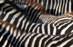 Free Zebra Royalty Free Stock Photos - 7513088