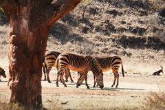 Zebra Obraz Royalty Free