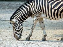 Zebra Imagem de Stock