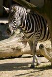 Zebra. Between dry tree branches Royalty Free Stock Photos