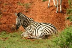 Zebra imagem de stock royalty free