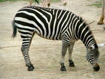 Zebra Fotografia de Stock
