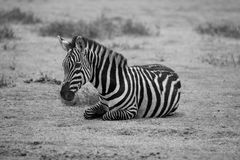 Zebra 7607 Royalty Free Stock Images