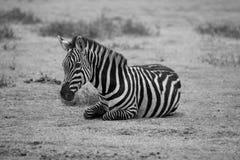 Zebra 7607 Royalty-vrije Stock Afbeeldingen