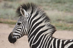 Zebra. Profile showing the 'mohawk' with faded background Stock Photo
