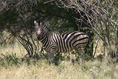 Zebra. In Kruger National Park, South Africa Stock Photo