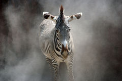 Zebra. A zebra with black & white stripes standing in a dust cloud Stock Photos
