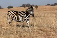 Zebra. Walking in the wild stock image