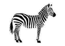 Free Zebra Royalty Free Stock Photo - 7907295