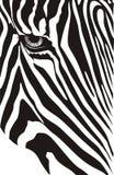 Zebra. Head of a zebra on a white background Royalty Free Stock Photo