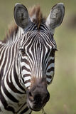 Zebra 8478 Stock Photos