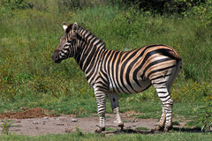 Zebra. Standing in wildlife with grassy plains in background Stock Photos