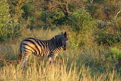 Zebra. In grassland and thickets Royalty Free Stock Photo