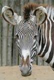 Zebra 9 Royalty Free Stock Photography