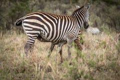 Zebra Obrazy Stock