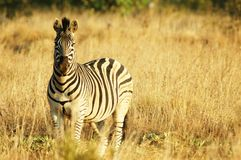 Zebra. In grasslands royalty free stock images