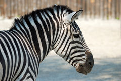 Zebra. Portrait of zebra close up Stock Image