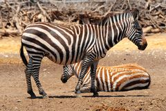 Zebra. Each Animal Has An Individual Striping Pattern Stock Photography