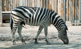 Zebra. Type of striped African animal which resembles a horse Royalty Free Stock Images