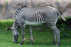 Free Zebra Stock Image - 9945441
