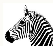 Free Zebra Royalty Free Stock Images - 996599