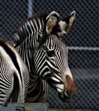 Zebra Lizenzfreie Stockbilder