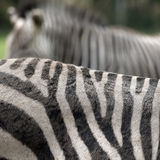 Zebra abstract Royalty Free Stock Photography
