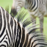 Zebra abstract Royalty Free Stock Photos