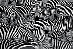 Zebra abstract. A lone zebra raises its head in a large group Stock Photos