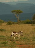 Zebra and acacia Stock Photos