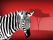 Zebra By an Acacia Tree Royalty Free Stock Photo